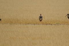 Cigüeñas negras (Ciconia nigra) /Black stork