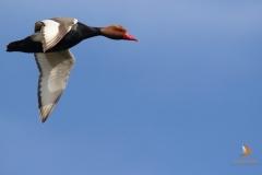 Pato colorado (Netta rufina) / Red-Crested Pochard