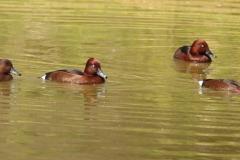 Porrón pardo (Aythya nyroca)/Ferruginous duck