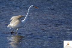 Garceta grande/ Great egret (Egretta alba)