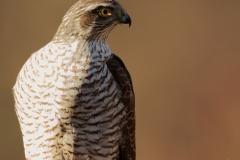 Gavilán común /  Eurasian sparrohawk / (Accipiter nisus)