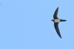 Vencejo real/ Alpin swift/ (Tachymarptis melba)