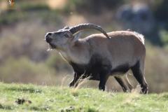 Cabra montés macho / Wild goat male.