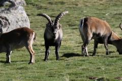 Cabras montesas/ Wild goats.