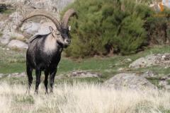Macho de Cabra Montés/ Wild Goat male (Capra pyrenaica)