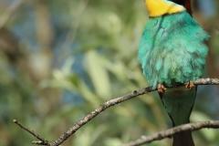Abejaruco europeo (Merops apiaster)/ Bee-eater