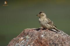 Gorrión chillón (Petronia petronia) / Rock sparrow