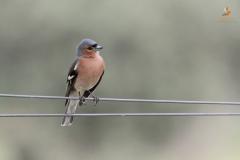 Pinzón vulgar (Fringilla coelebs)/ Common chaffinch