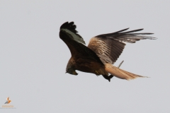 Milano real / Red kite (Milvus milvus)