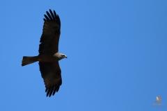 Milano negro / Black kite (Milvus migrans)