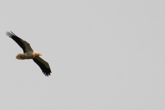 Alimoche / Egyptian vulture (Neophron percnopterus)