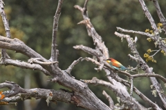 Abejaruco común / Common Bee-eater (Merops apiaster)