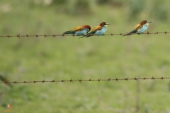 Abejarucos comunes/ Common Bee-eater (Merops apiaster)