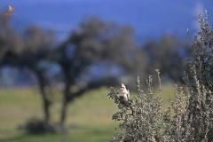 Críalo/ Great spotted cuckoo (Clamator glandarius)