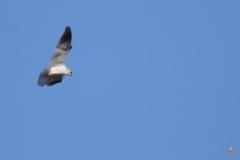 Elanio azul/ Black-shouldered kite (Elanus caeruleus)