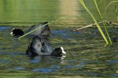 Focha común/ Eurasian coot (Fulica atra)
