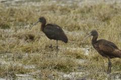 Morito/Glossy ibis (Plegadis falcinellus)