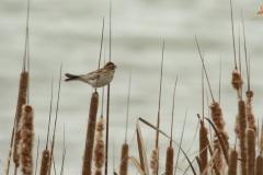 Escribano palustre/ Common reed bunting (Emberiza schoeniclus)