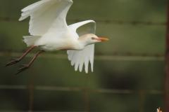 Garcilla bueyera / Cattle Egret (Bubulcus ibis)