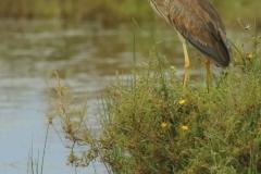 Garza imperial/ Purple Heron  (Ardea purpurea)