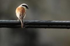 Alcaudón dorsirrojo /Red-backed shrike (Lanius collurio)