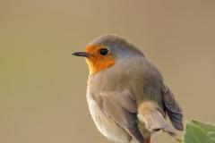 Petirrojo / Eurasian robin (Erithacus rubecula)