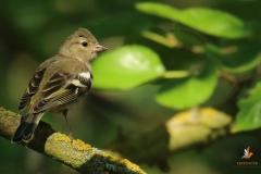 Pinzón vulgar/ Common chaffinch (Fringilla coelebs)