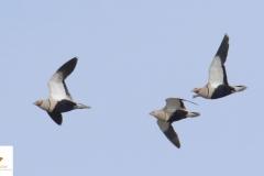 Bandada de ortegas / Black-bellied sandgrouse (Pterocles orientalis)