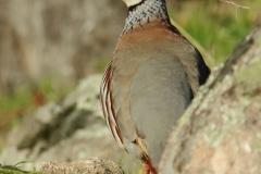 Perdiz roja/ Red-legged partridge (Alectoris rufa)