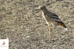 Alcaraván / Stone Curlew (Burhinus oedicnemus)