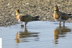 Gangas ibéricas / Pin-tailed sandgrouse ( Pterocles  alchata)