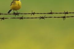 Lavandera boyera /  Yellow Wagtail (Motacilla flava)