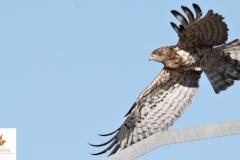 Águila culebrera / Short Toed Eagle (Circaetus gallicus)