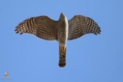Gavilán común / Eurasian Sparrowhawk (Accipiter nisus)