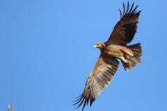 Águila imperial ibérica / Spanish Imperial Eagle (Aquila adalberti)
