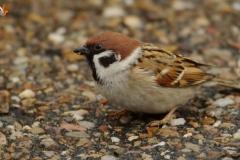 Gorrión molinero/  Eurasian tree sparrow (Passer montanus)
