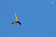 Vencejo pálido/ Pallid swift (Apus pallidus)