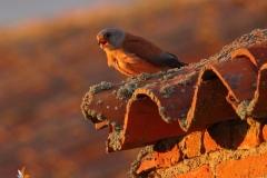 Macho cernícalo  primilla/Male Lesser kestrel