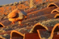 macho cernícalo  primilla/ Male Lesser kestrel