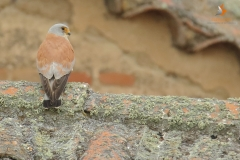 Macho de cernícalo primilla/ Male Lesser kestrel