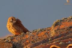 Cernícalo primilla hembra/ Female lesser kestrel