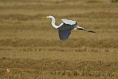 Garceta grande / Great Egrett (Egretta alba)