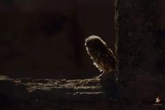 Mochuelo / Little Owl (Athene noctua)