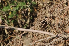 Estrilda común / Common Waxbill ( Estrilda astrild)