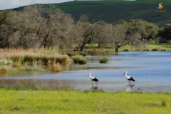 Cigüeñas blancas (Ciconia ciconia)/White stork