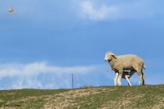 Oveja con cordero mamando / Sheep with lamb