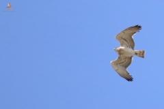 Águila culebrera (Circaetus gallicus) / Short Toed Eagle