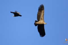Buitre leonado/Griffon Vulture (Gyps fulvus)
