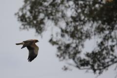 Águila calzada / Booted Eagle (Hieraaetus pennatus)