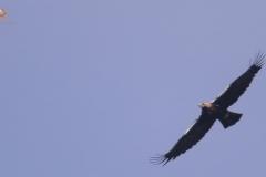 Águila Imperial Ibérica/Spanish Imperial Eagle (Aquila adalberti)